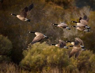 Geese by pfrancke