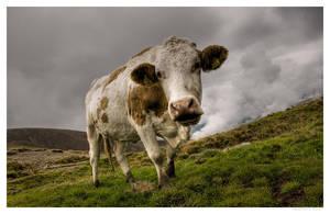 hallo cow by zero-