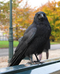 Crow 4 by dierat-stock