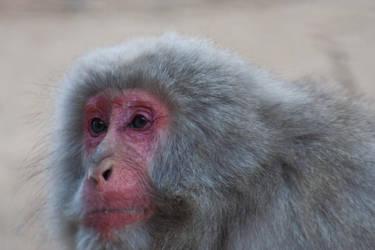 Portrait of a Monkey 2 by Salgor