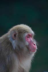 Portrait of a Monkey 3 by Salgor