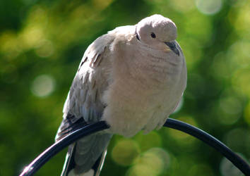 Collared Dove by egypt04