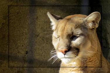 Captive Mountain Lion by Joe-Maccer