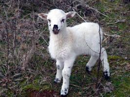 Lamb by Vedran-V