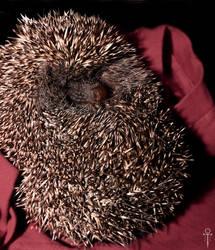 THE Hedgehog by Rolmopsis