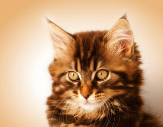 Kimba Portrait - Maine Coon Cat by Manu34