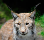 Am I a friend or prey?  -  Lynx Portrait by Manu34