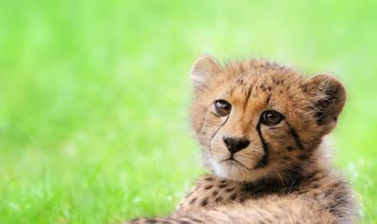 Freedom - Cheetah Cub by Manu34