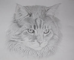 Maine Coon by LittleMissRaven
