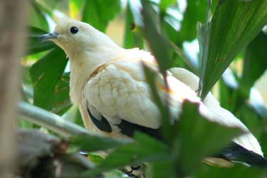 dove? by MilkHermit