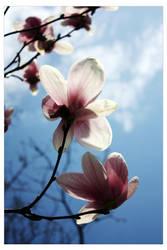 Magnolia2 by unexplanetory