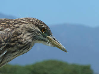 Young Black-Crowned Night-Heron by Akril15