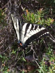 Swallowtail by Akril15