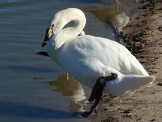 Hybrid Swan by Akril15