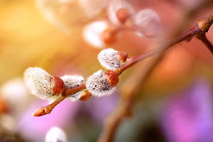 Willow catkin by IsabellaJainePhoto