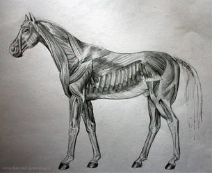 Horse anatomy 3 by Teries-art