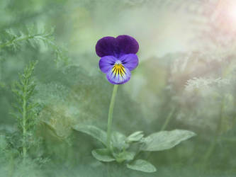 Viola by vanillapearl