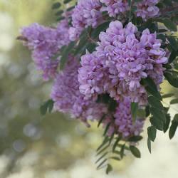 Acacia by vanillapearl