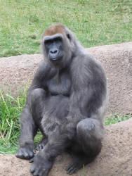 Silverback Gorilla by WildWurm