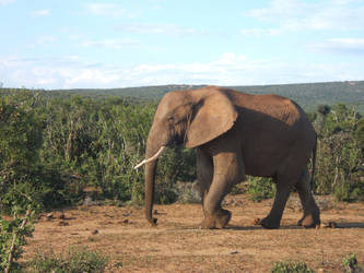 Wandering Elephant by zananeichan