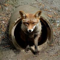 Fox by eudoxe2000