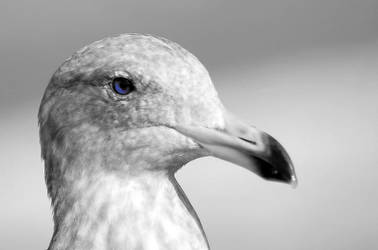 Blue Eyed Gull by doverby