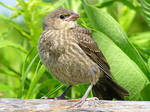House Finch by kureejiilea