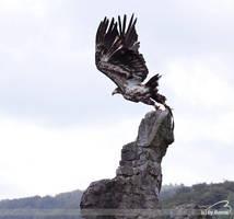Sea eagle by Bormi
