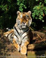 Amur-Tiger by Bormi