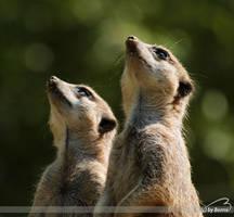 Meerkats by Bormi