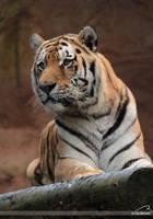 sibirischer_Tiger by Bormi