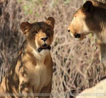 shocked lion by Bormi