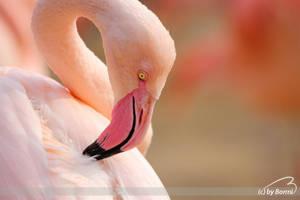 rosy flamingo by Bormi