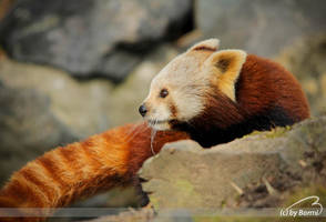 red panda by Bormi