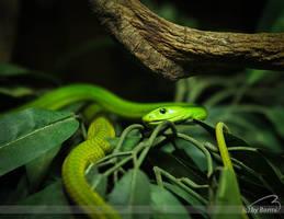 green poison by Bormi