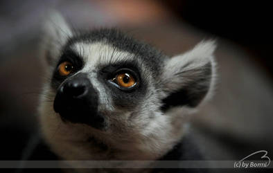 ring-tailed lemur by Bormi