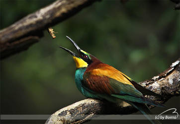 Gotcha! Bee-eater by Bormi