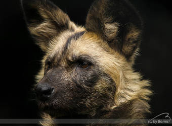 African wild dog by Bormi