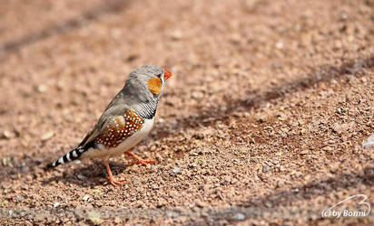 zebra finch by Bormi