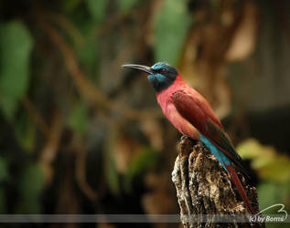 carmine bee eater by Bormi
