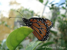 little monarch by MeredithDillman