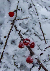 Snowy berry by katttinka