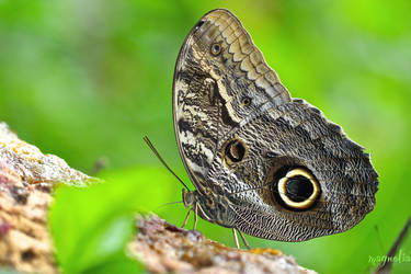 Owl Butterfly by FallOut99