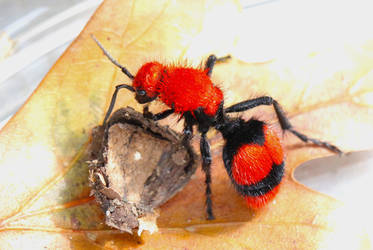Red Velvet Ant IV by FallOut99