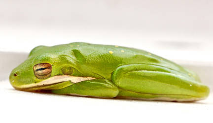 Sleepy Green Tree Frog by FallOut99