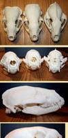 badger skulls comparison by Nimgaraf