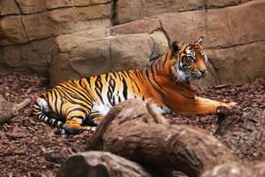Tiger by AKrukowska