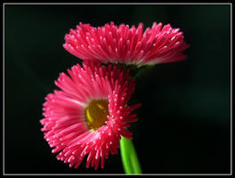 Daisies in love by kanes