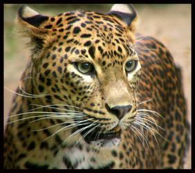 Leopard by kanes