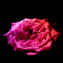 Rose by tamaho
